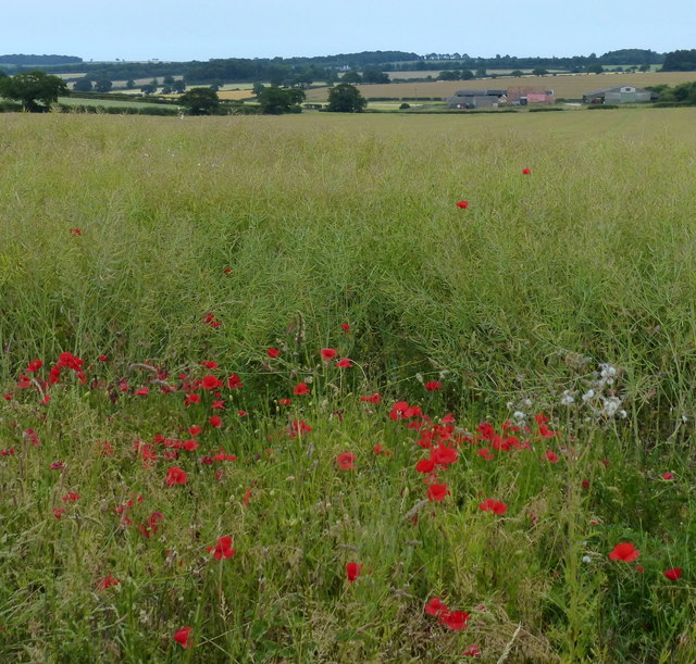 Poppies and farmland next to the Peddar's Way