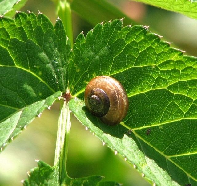 Draparnaud's Glass Snail (Oxychilus drapanaudi)