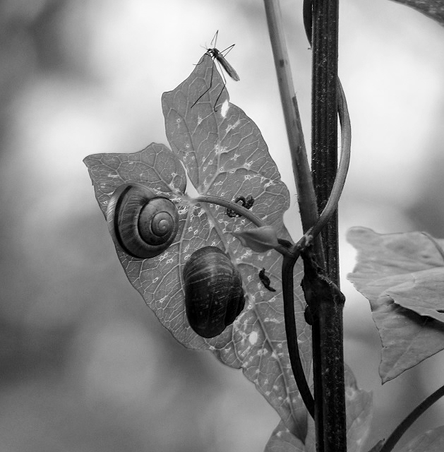 Snails on a field bindweed leaf