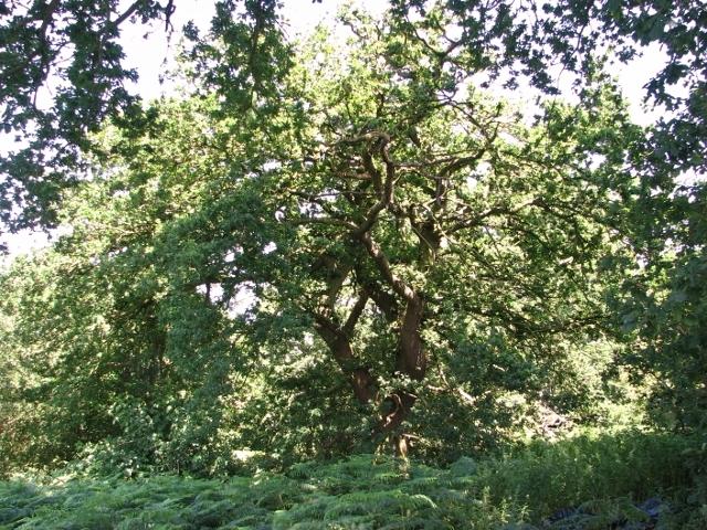 Ancient English oak tree