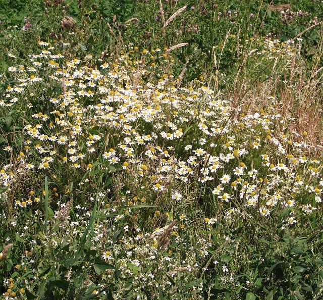 Scented mayweed (Matricaria recutita)