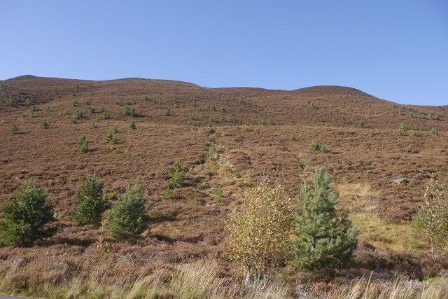 Regenerating Scots pines