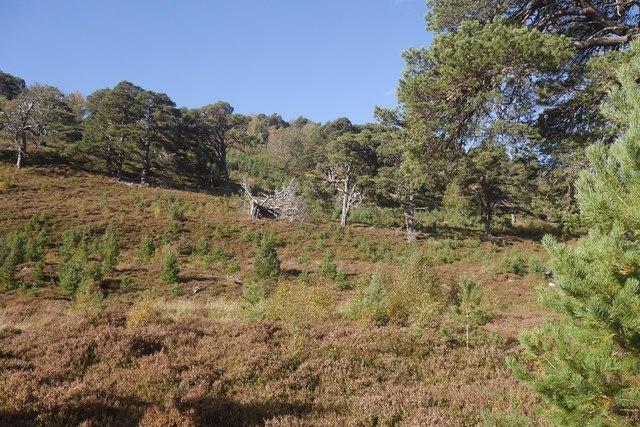 Regenerating woodland, Glen Feshie
