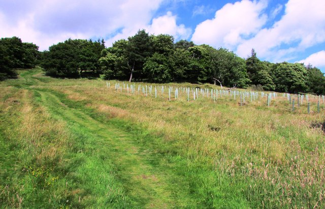 New plantation near Bishop Hill, Lomond Hills