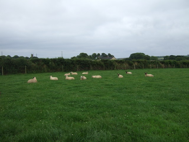 Sheep grazing near Sithney
