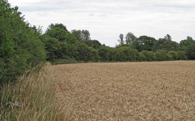 Wheat Field near Mutford Hall