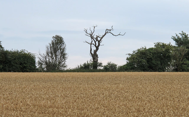 Looking over a Wheat Field to a Dead Tree, Henstead