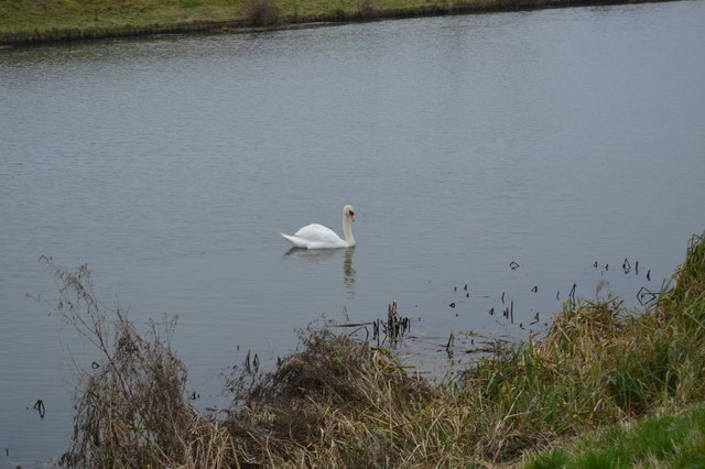 Swan, River Great Ouse