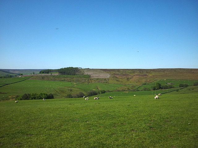 Sheep pasture above Birkside