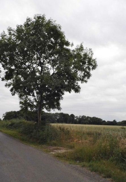 Tree on Wood End Lane near Jockey End