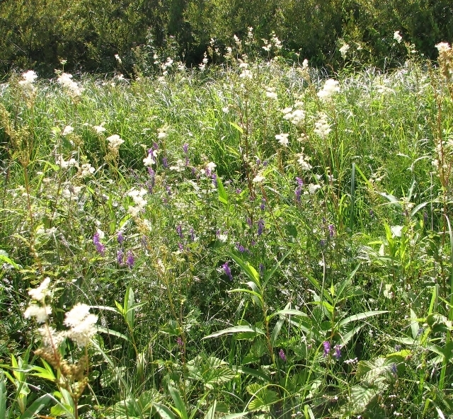 Meadowsweet and Tufted vetch