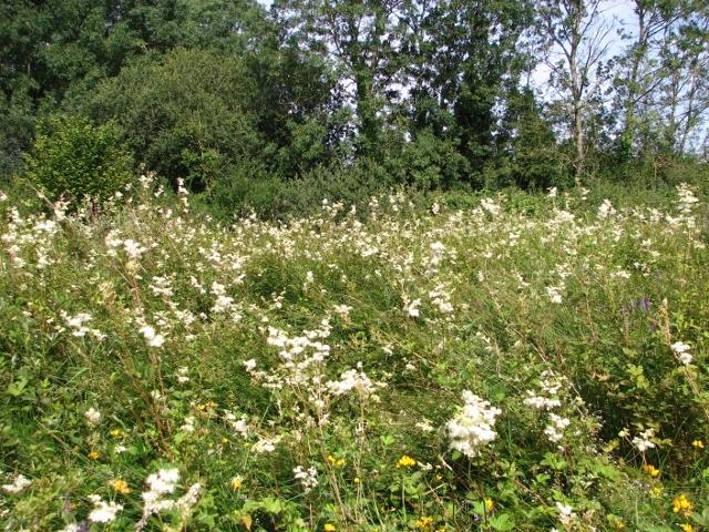 The Beck Meadow -  Meadowsweet