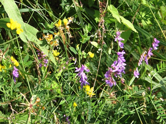 Tufted vetch and Greater Bird's foot trefoil