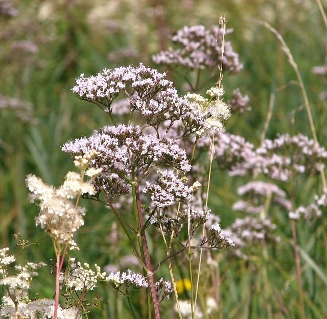 The Beck Meadow -  Meadowsweet and Valerian