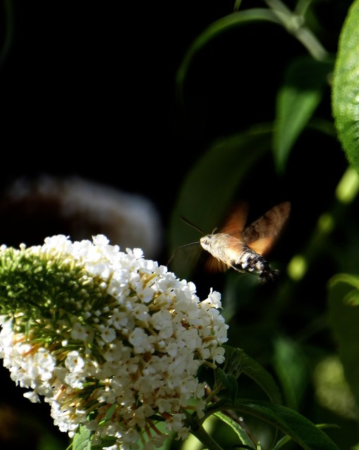 Hummingbird hawkmoth (Macroglossum stellatarum) feeding at buddleia (2)