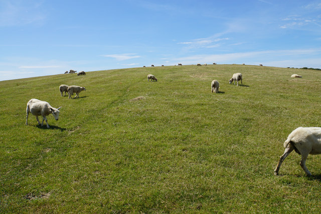 Sheep on Baggy Point