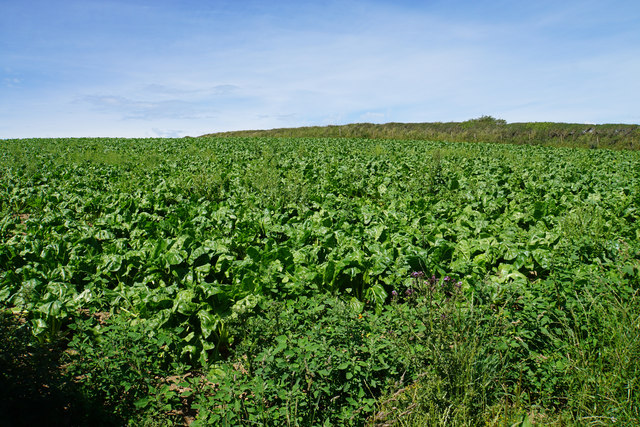A field of beet near Croydhoe Farm