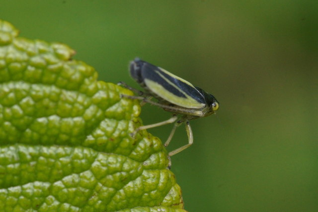 The leafhopper Evancanthus interuptus, Baltasound