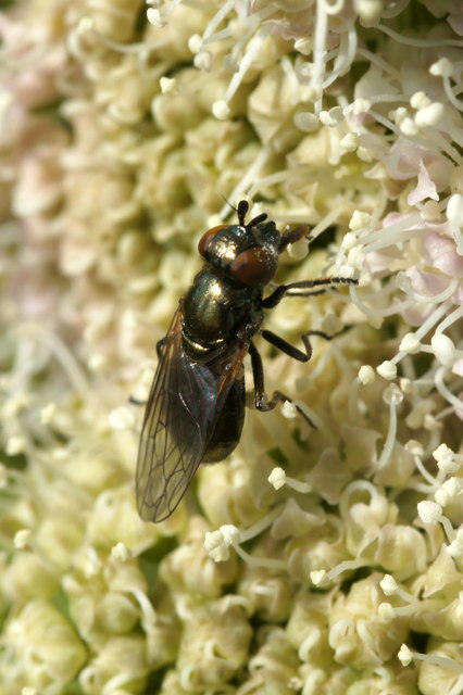 The hoverfly Lejogaster metallina, Baltasound