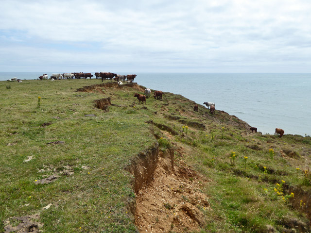 Cattle, Sudmoor Point