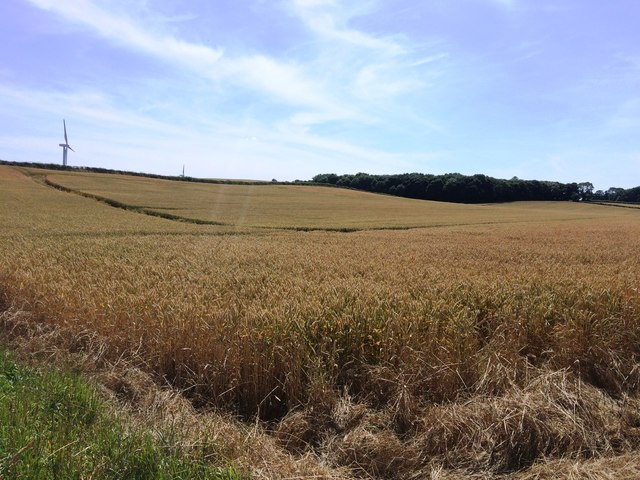 Crop Field viewed from Packman Lane