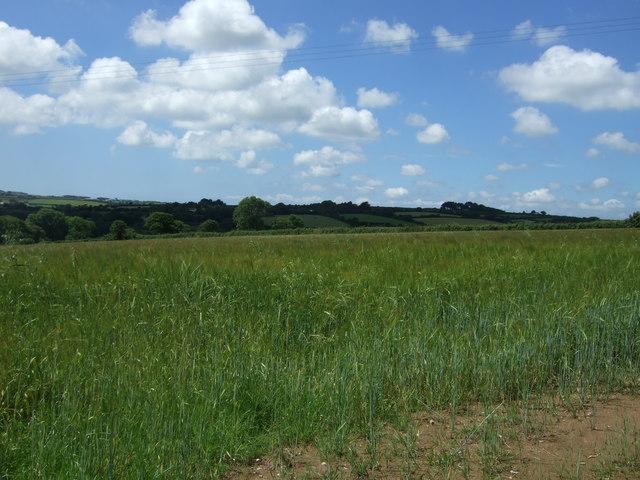 Cereal crop near Gweek