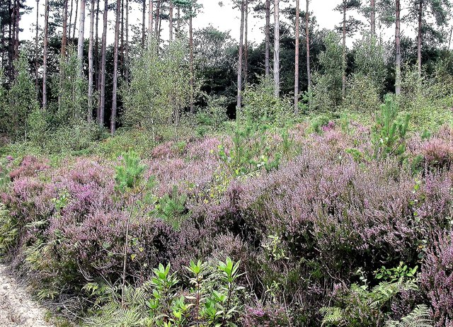 Heather and Scot's pines, Brede High Woods