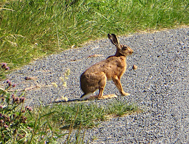 Hare on Out Newton Road