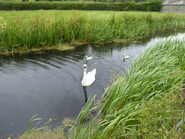 Swan and cygnets on The Monty near Berriew