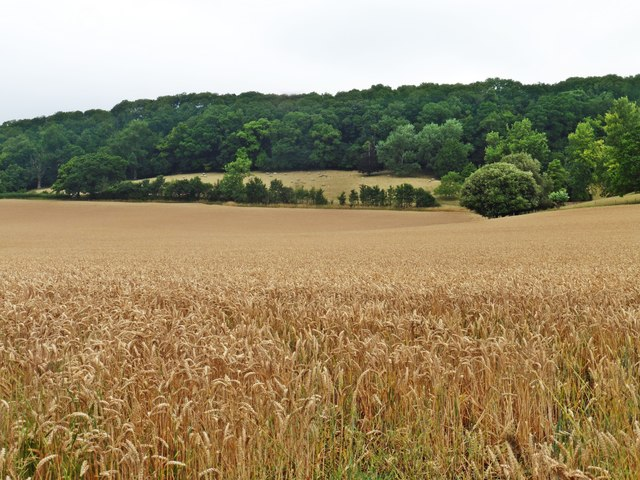 Wheat field below Ivy Thorn Hill
