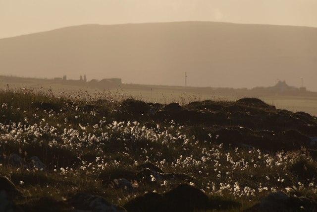 Bog cotton in the westering sun, Setters, Haroldswick