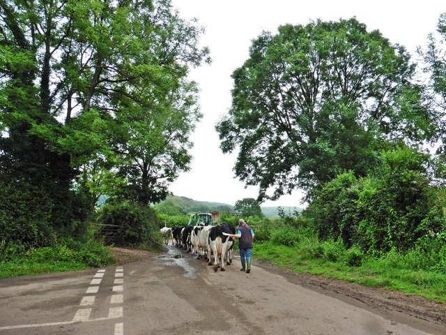 Herding the cattle at Compton Dundon