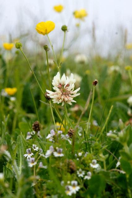 White Clover (Trifolium repens), Skaw, Unst