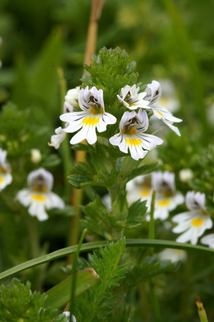 Eyebright (Euphrasia officianalis agg.), Skaw, Unst