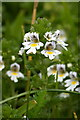 HP6516 : Eyebright (Euphrasia officianalis agg.), Skaw, Unst by Mike Pennington