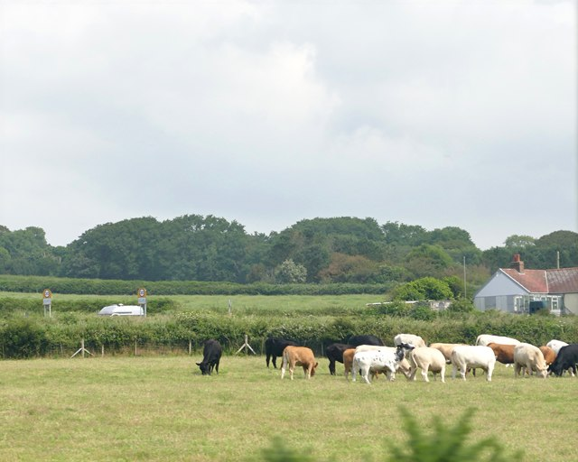 Cattle Grazing near Colby