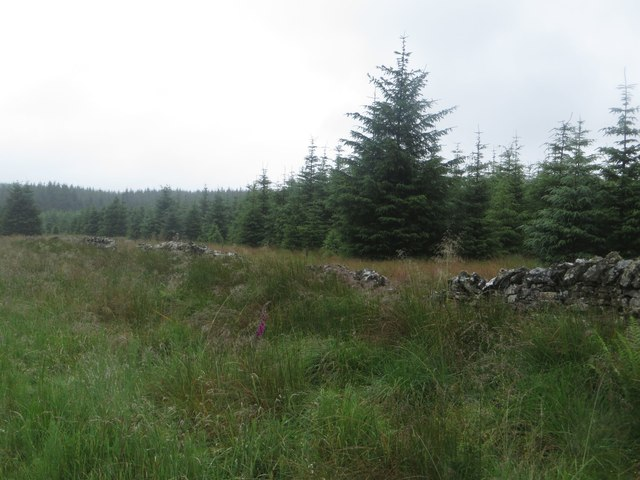 Young trees in Wark Forest
