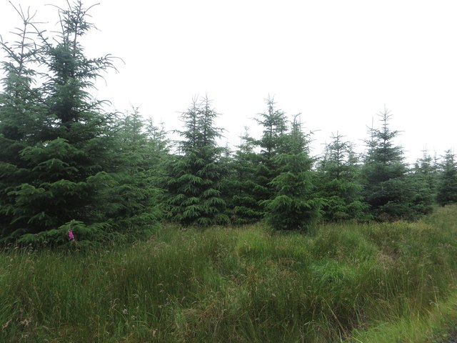 Young trees near Hawthorne Rigg