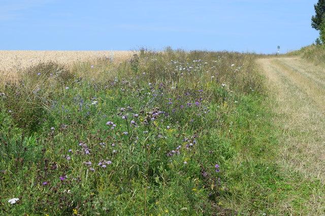 Wildflowers on the field margin