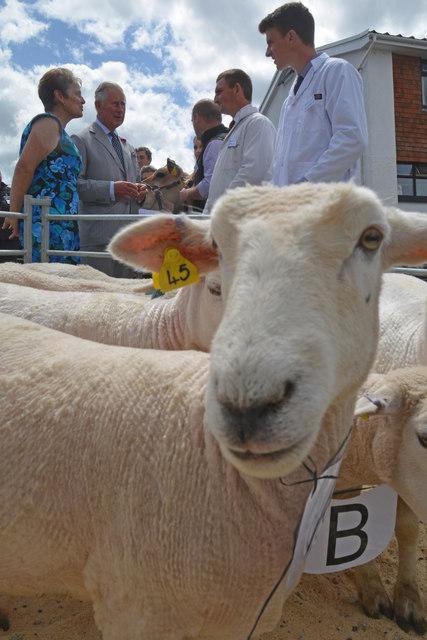 Cheriton Bishop : Sheep