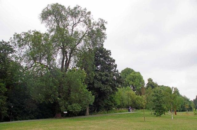 The Lewisham Dutch Elm