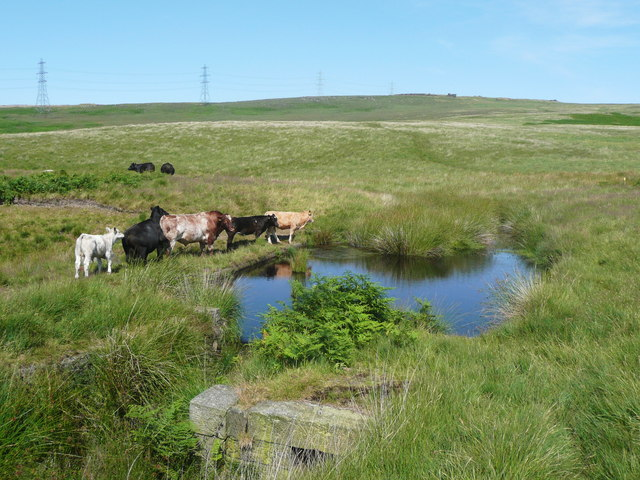 Pond and cattle, Chelburn Moor