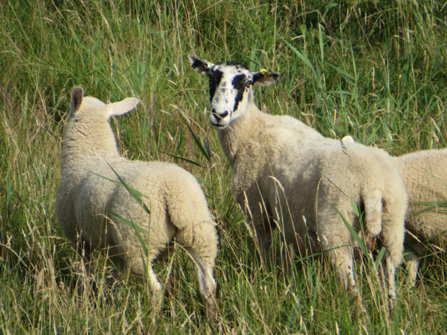 Sheep on Weeton Bank