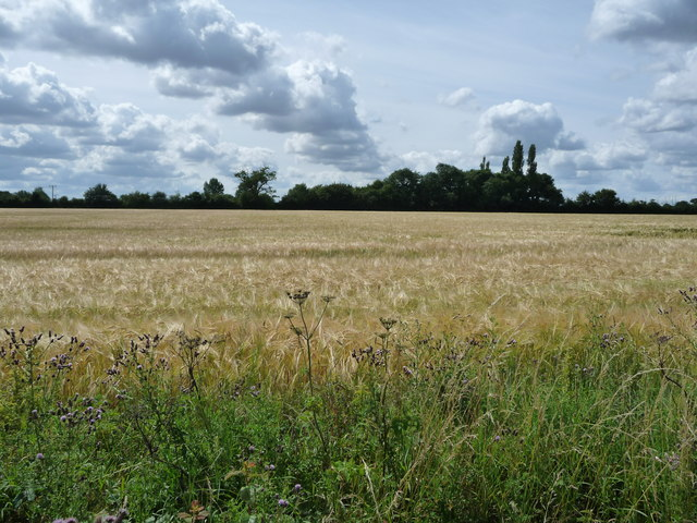 Barley field, south side of Ixworth Road