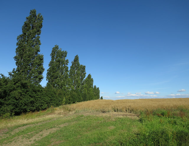 Poplars and oilseed rape