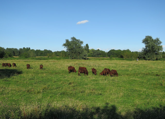 Red Poll cattle on Grantchester Meadows