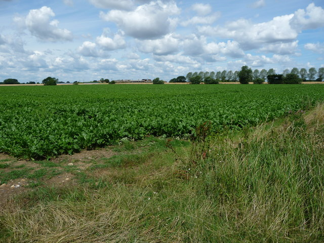 Sugar beet field, between Mill Farm and Highland Farm