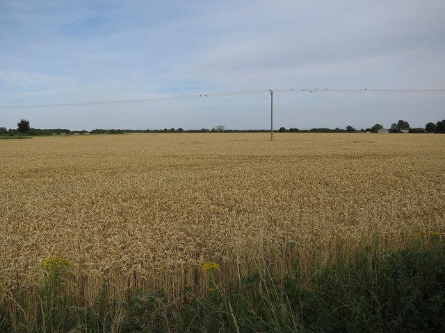 Wheat field by Glebe Way