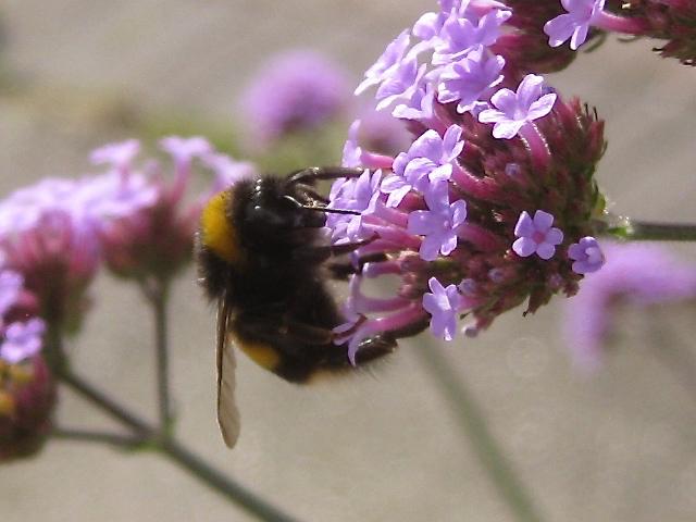 Verbena bonariensis and a visiting bee, Emscote Gardens, Warwick