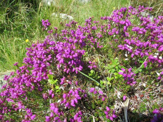 Bell heather on Sron Leathad Chleansaid above Dalnessie, Lairg